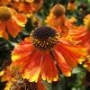 helenium-sahins-early-flowerer-flower1