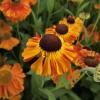 helenium-sahins-early-flowerer-flower2