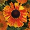 helenium-sahins-early-flowerer-flower3