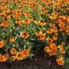 helenium-sahins-early-flowerer-plant1