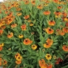 helenium-sahins-early-flowerer-plant2