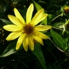 helianthus-limelight-flower1