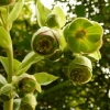 helleborus-foetidus-flower1