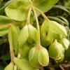 helleborus-foetidus-flower2