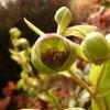 helleborus-foetidus-flower3