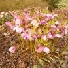 helleborus-orientalis-plant1