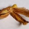 hemerocallis-gall-midge-3
