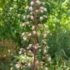heuchera-mocha-flower1