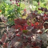 heuchera-mocha-plant1
