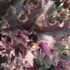 heuchera-purple-petticoats-leaf1