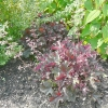 heuchera-purple-petticoats-plant1