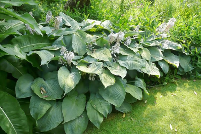 Hosta Blue Angel Plants Oak Leaf Gardening