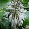hosta-blue-angel-flower1