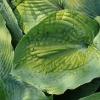 hosta-blue-angel-leaf1