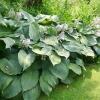 hosta-blue-angel-plant1
