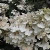 hydrangea-paniculata-pink-diamond-interhydia-flower2