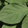 hydrangea-paniculata-pink-diamond-interhydia-leaf1