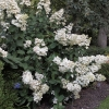 hydrangea-paniculata-pink-diamond-interhydia-plant1
