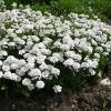 iberis-sempervirens-plant1