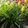kniphofia-ada-plant1
