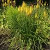 kniphofia-sunningdale-yellow-plant1