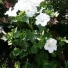 lavatera-thuringiaca-white-satin-plant1