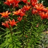 lilium-fire-cracker-plant