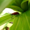 lily-beetle-4