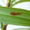 lily-beetle-eggs-2