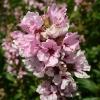 lythrum-sallcaria-blush-flower1