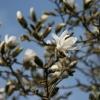 magnolia-stellata-flower1