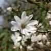 magnolia-stellata-flower2