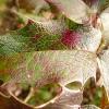 mahonia-aquifolium-apollo-leaf1