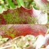 mahonia-aquifolium-apollo-leaf1_0