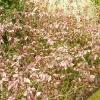 mahonia-aquifolium-apollo-plant1