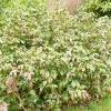 mahonia-aquifolium-apollo-plant1_0