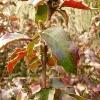 mahonia-aquifolium-apollo-stem1