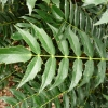 mahonia-x-media-charity-leaf1