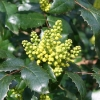 mahonia-x-wagneri-pinnacle-bud1