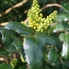 mahonia-x-wagneri-pinnacle-bud2