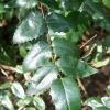 mahonia-x-wagneri-pinnacle-leaf1