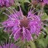 monarda-violet-queen-flower1