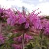 monarda-violet-queen-flower2