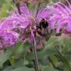 monarda-violet-queen-flower3