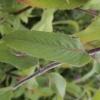 monarda-violet-queen-leaf1