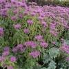 monarda-violet-queen-plant1