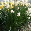 narcissus-abba-plant1