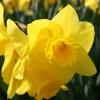 narcissus-arkle-flower1