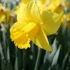 narcissus-arkle-flower2