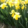 narcissus-arkle-plant1